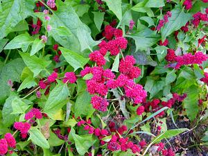 CHCA4/Chenopodium_capitatum_Strawberry_Blite_2048px_300.jpg