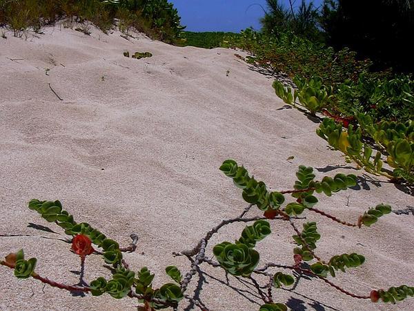 Beach Sandmat (Chamaesyce Degeneri) http://www.sagebud.com/beach-sandmat-chamaesyce-degeneri