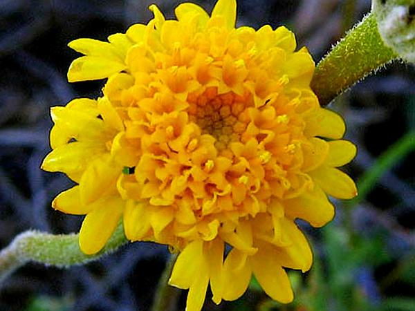 Yellow Pincushion (Chaenactis Glabriuscula)
