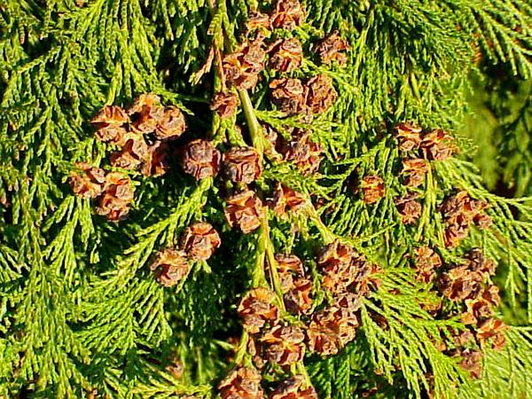 Port Orford Cedar (Chamaecyparis Lawsoniana) http://www.sagebud.com/port-orford-cedar-chamaecyparis-lawsoniana