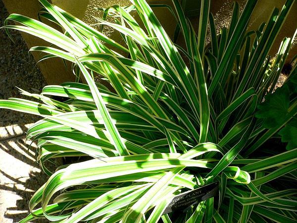 Chlorophytum (Chlorophytum) http://www.sagebud.com/chlorophytum-chlorophytum/