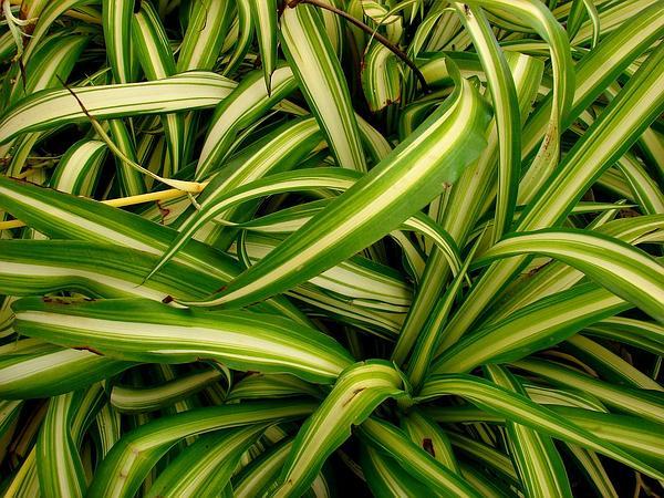 Chlorophytum (Chlorophytum) http://www.sagebud.com/chlorophytum-chlorophytum