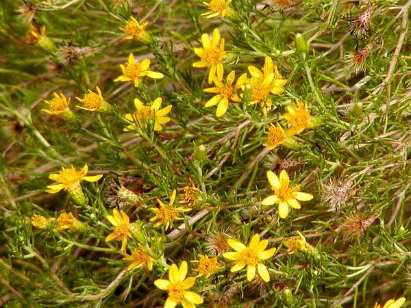 Chrysactinia (Chrysactinia) http://www.sagebud.com/chrysactinia-chrysactinia/