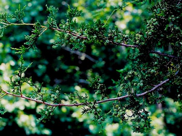 Atlantic White Cedar (Chamaecyparis Thyoides) http://www.sagebud.com/atlantic-white-cedar-chamaecyparis-thyoides/