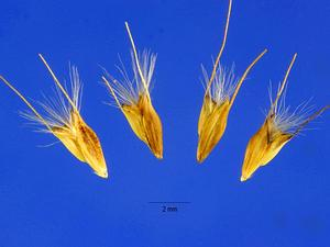 Feather Fingergrass
