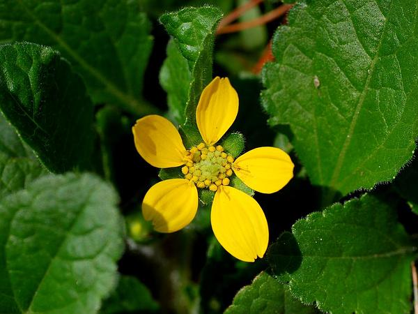Green And Gold (Chrysogonum Virginianum) http://www.sagebud.com/green-and-gold-chrysogonum-virginianum