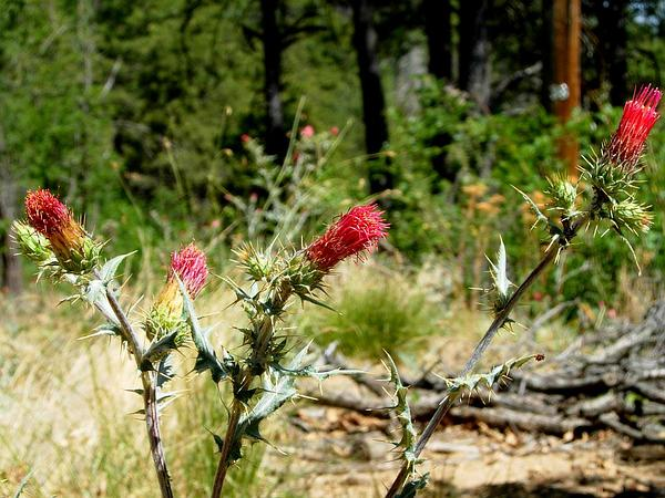 Arizona Thistle (Cirsium Arizonicum)