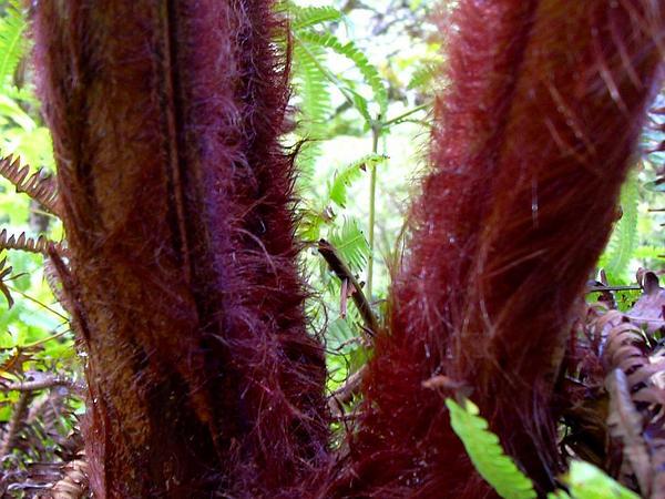 Manfern (Cibotium) http://www.sagebud.com/manfern-cibotium/