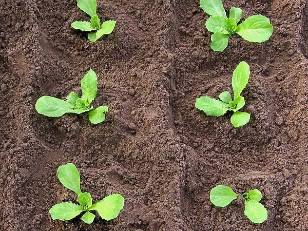 Выращивание цикорий бизнес идея 17