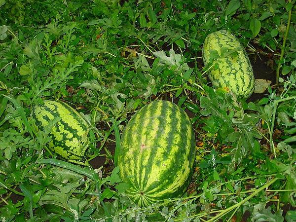 Watermelon (Citrullus Lanatus) http://www.sagebud.com/watermelon-citrullus-lanatus