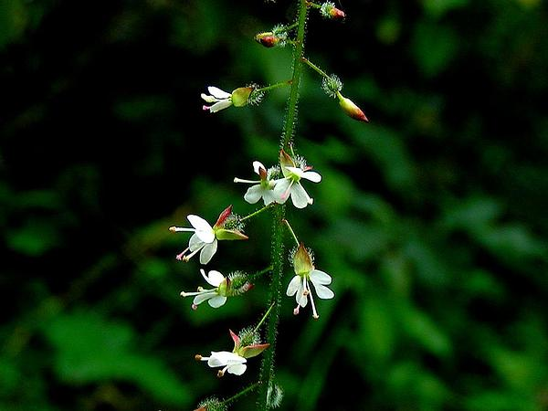 Broadleaf Enchanter's Nightshade (Circaea Lutetiana) http://www.sagebud.com/broadleaf-enchanters-nightshade-circaea-lutetiana