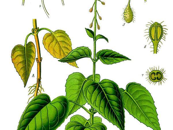 Broadleaf Enchanter's Nightshade (Circaea Lutetiana) http://www.sagebud.com/broadleaf-enchanters-nightshade-circaea-lutetiana/