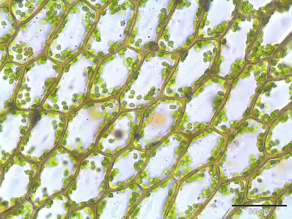 Cinclidium Moss (Cinclidium) http://www.sagebud.com/cinclidium-moss-cinclidium