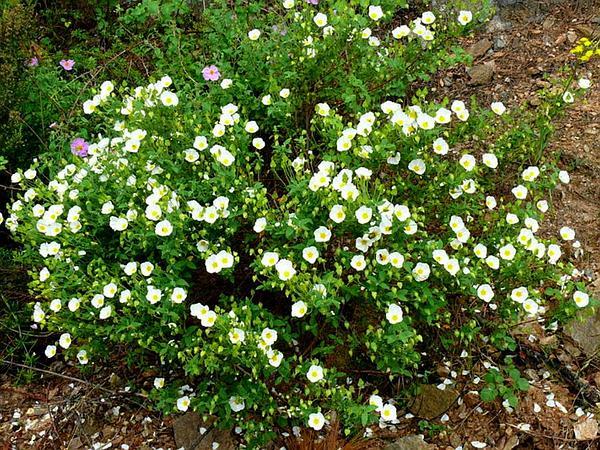 Salvia Cistus (Cistus Salviifolius) http://www.sagebud.com/salvia-cistus-cistus-salviifolius