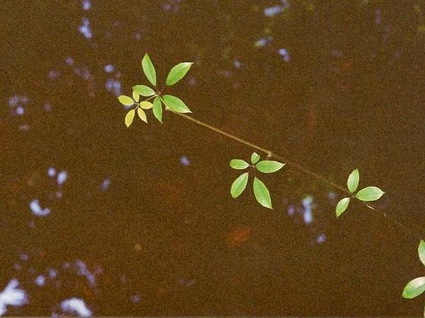 Treebine (Cissus) http://www.sagebud.com/treebine-cissus