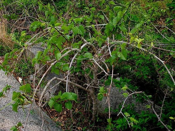 Treebine (Cissus) http://www.sagebud.com/treebine-cissus/
