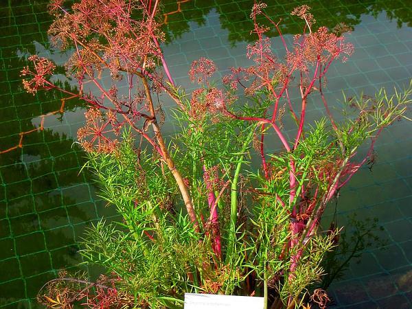 Mackenzie's Water Hemlock (Cicuta Virosa) http://www.sagebud.com/mackenzies-water-hemlock-cicuta-virosa