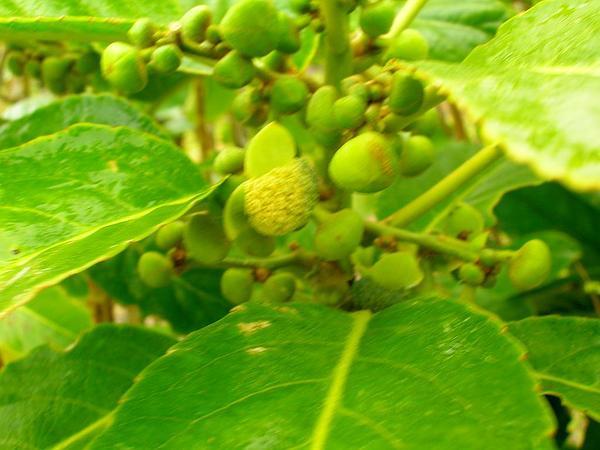 Claoxylon (Claoxylon) http://www.sagebud.com/claoxylon-claoxylon/