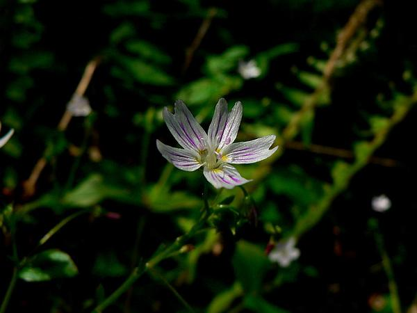 Springbeauty (Claytonia) http://www.sagebud.com/springbeauty-claytonia