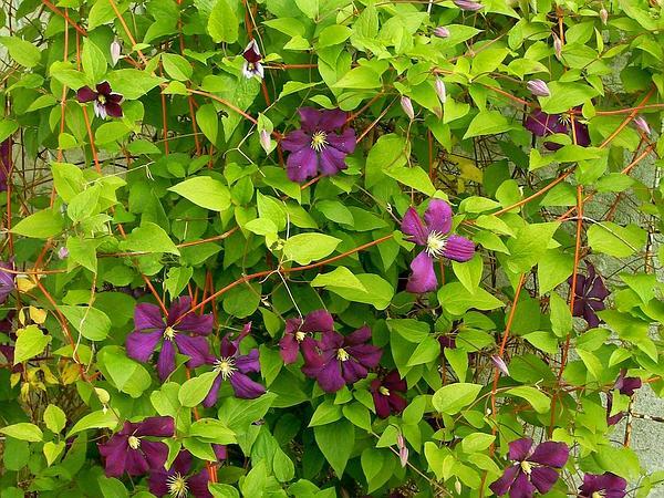 Leather Flower (Clematis) http://www.sagebud.com/leather-flower-clematis/