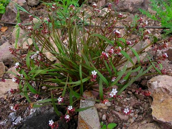 Serpentine Springbeauty (Claytonia Exigua) http://www.sagebud.com/serpentine-springbeauty-claytonia-exigua
