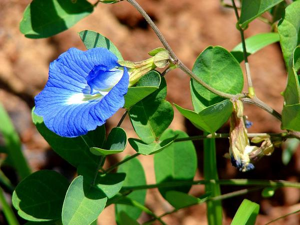 Pigeonwings (Clitoria) http://www.sagebud.com/pigeonwings-clitoria