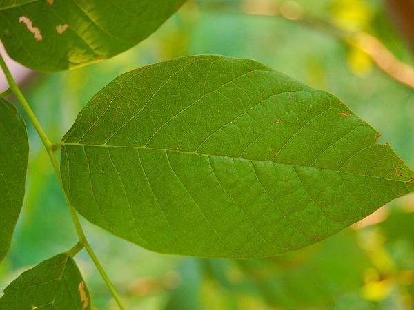 Kentucky Yellowwood (Cladrastis Kentukea) http://www.sagebud.com/kentucky-yellowwood-cladrastis-kentukea/