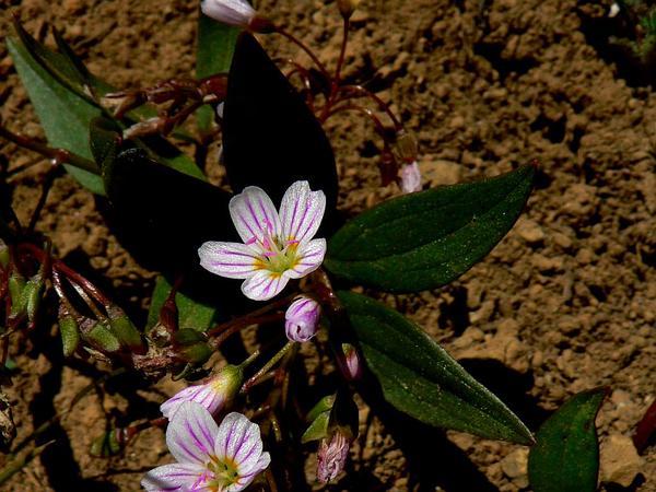 Lanceleaf Springbeauty (Claytonia Lanceolata) http://www.sagebud.com/lanceleaf-springbeauty-claytonia-lanceolata/
