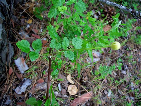 Pipestem Clematis (Clematis Lasiantha) http://www.sagebud.com/pipestem-clematis-clematis-lasiantha