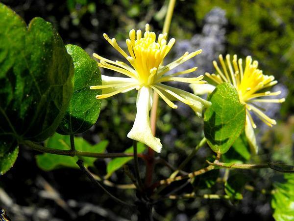 Ropevine Clematis (Clematis Pauciflora) http://www.sagebud.com/ropevine-clematis-clematis-pauciflora