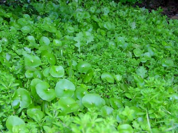 Miner's Lettuce (Claytonia Perfoliata) http://www.sagebud.com/miners-lettuce-claytonia-perfoliata
