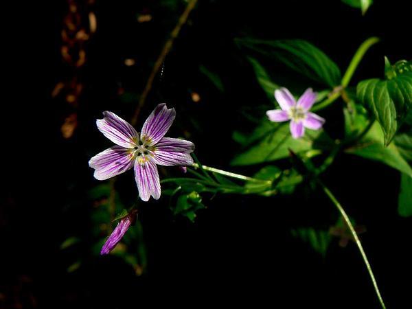 Siberian Springbeauty (Claytonia Sibirica) http://www.sagebud.com/siberian-springbeauty-claytonia-sibirica/