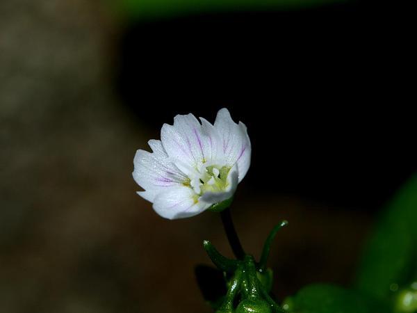 Siberian Springbeauty (Claytonia Sibirica) http://www.sagebud.com/siberian-springbeauty-claytonia-sibirica