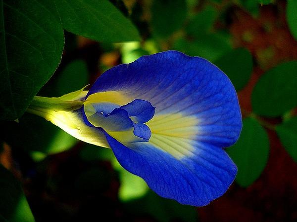 Asian Pigeonwings (Clitoria Ternatea) http://www.sagebud.com/asian-pigeonwings-clitoria-ternatea/