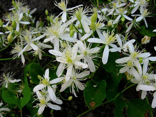 Sweet Autumn Virginsbower (Clematis Terniflora) http://www.sagebud.com/sweet-autumn-virginsbower-clematis-terniflora