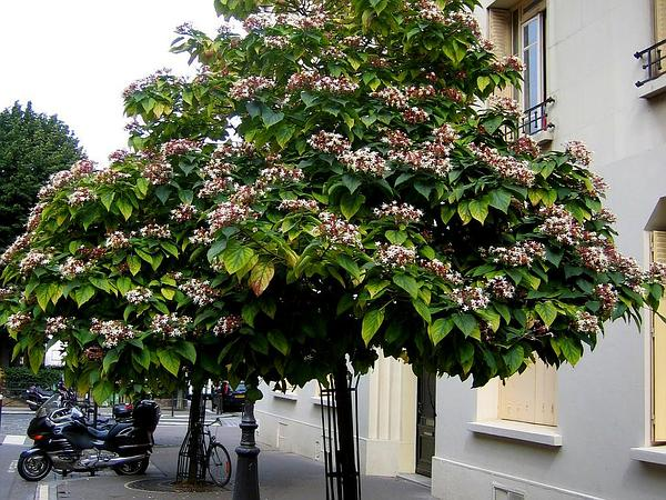 Harlequin Glorybower (Clerodendrum Trichotomum)