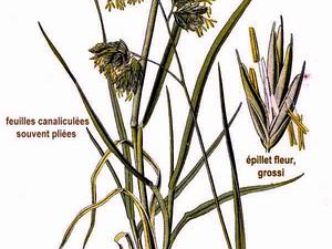 DACTY/381_Dactylis_glomerata_L_300.jpg