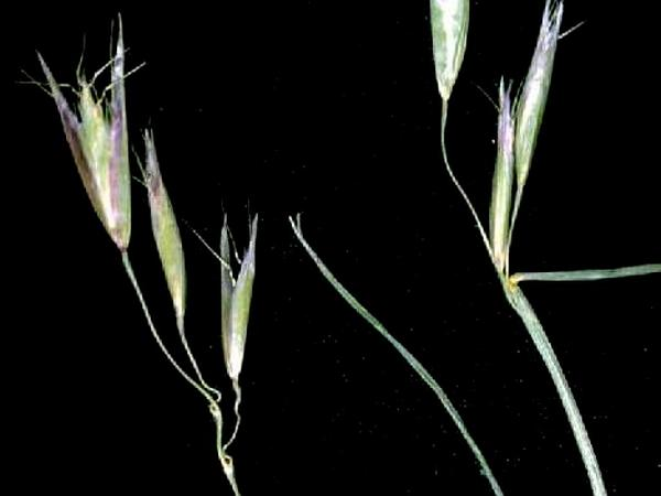 Oatgrass (Danthonia) http://www.sagebud.com/oatgrass-danthonia