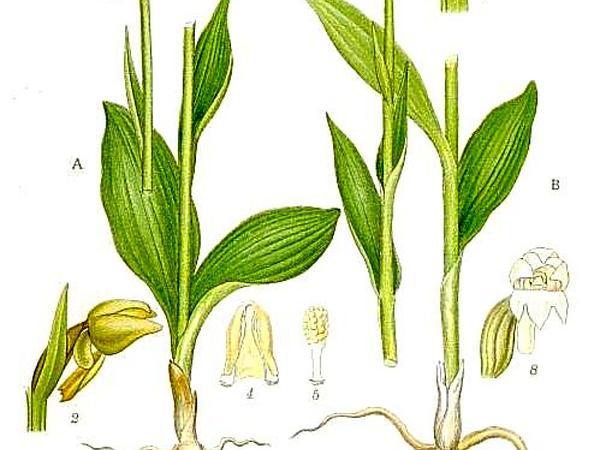 Longbract Frog Orchid (Dactylorhiza Viridis) http://www.sagebud.com/longbract-frog-orchid-dactylorhiza-viridis