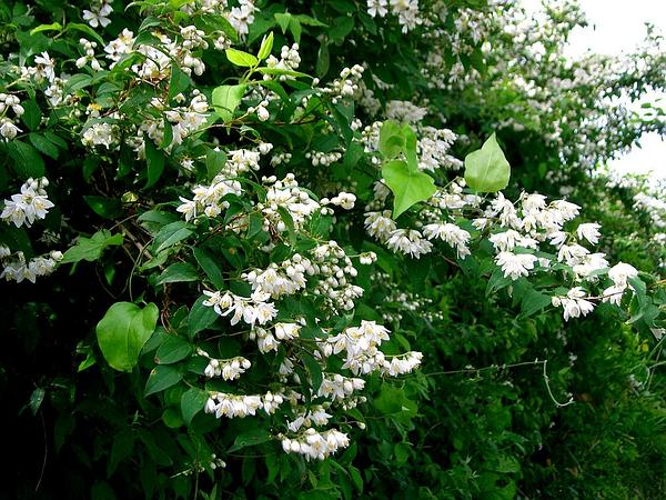 Crenate Pride-Of-Rochester (Deutzia Crenata)