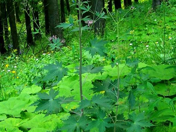 Candle Larkspur (Delphinium Elatum) http://www.sagebud.com/candle-larkspur-delphinium-elatum/
