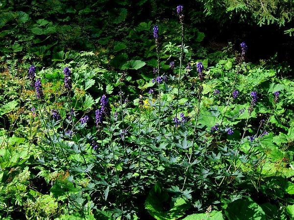 Candle Larkspur (Delphinium Elatum) http://www.sagebud.com/candle-larkspur-delphinium-elatum