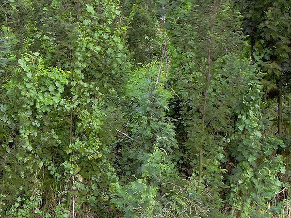 Cape-Ivy (Delairea) http://www.sagebud.com/cape-ivy-delairea/