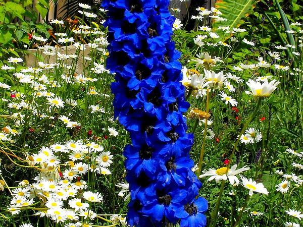 Larkspur (Delphinium) http://www.sagebud.com/larkspur-delphinium