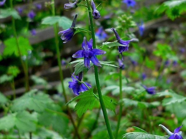 Larkspur (Delphinium) http://www.sagebud.com/larkspur-delphinium/