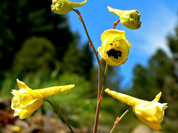 Yellow Larkspur (Delphinium Luteum) http://www.sagebud.com/yellow-larkspur-delphinium-luteum/