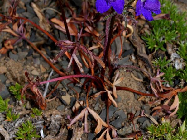 Menzies' Larkspur (Delphinium Menziesii) http://www.sagebud.com/menzies-larkspur-delphinium-menziesii/
