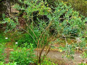 Tree Poppy
