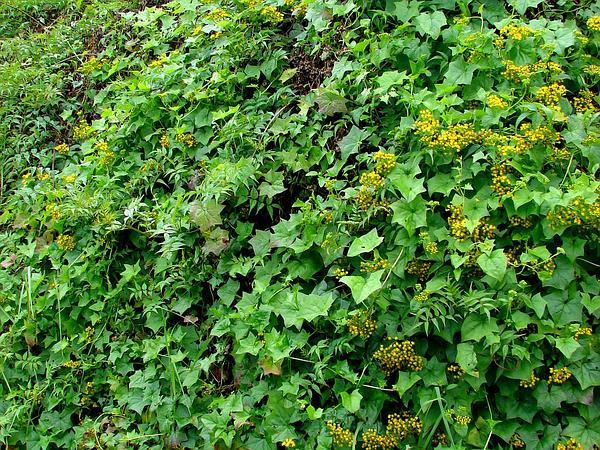 Cape-Ivy (Delairea Odorata) http://www.sagebud.com/cape-ivy-delairea-odorata