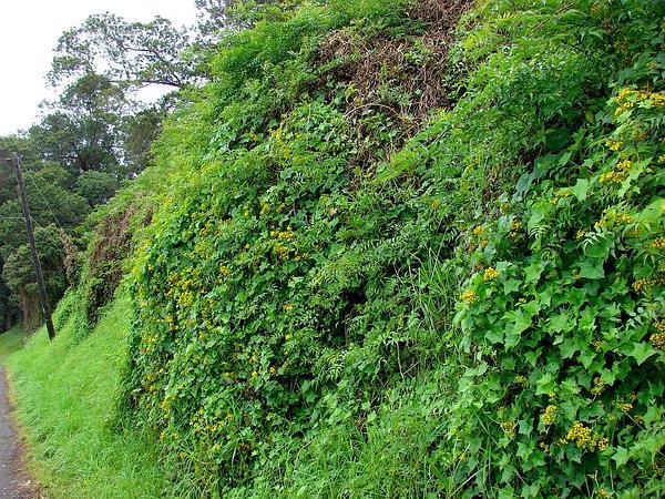 Cape-Ivy (Delairea Odorata) http://www.sagebud.com/cape-ivy-delairea-odorata/